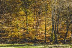 Beautiful landscape of a forest full with birch trees in autumn. Green grass Royalty Free Stock Photography