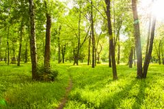 Fresh Grass With Dandelions, Trees With Green Leaves Under Shini stock photo