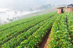 Beautiful landscape and fresh strawberries farm Royalty Free Stock Image