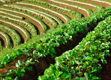 Beautiful landscape and fresh strawberries farm at Chiangmai Royalty Free Stock Photos