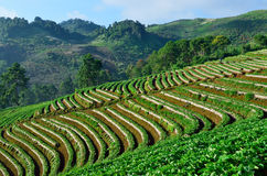 Beautiful landscape and fresh strawberries farm at Chiangmai ,Thailand Stock Photos