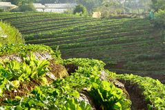 Beautiful landscape and fresh strawberries farm at Chiangmai ,Thailand Stock Image