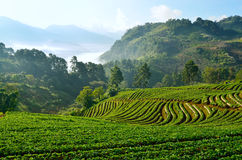 Beautiful landscape and fresh strawberries farm at Chiangmai ,Thailand Royalty Free Stock Images