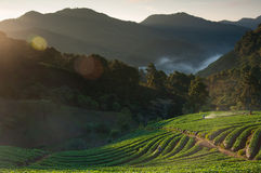 Beautiful landscape and fresh strawberries farm in winter at Chiangmai Royalty Free Stock Photos