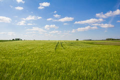 Beautiful Landscape Green Corn Field With Blue Cloudy Sky Stock Image