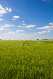 Beautiful Landscape Green Corn Field With Blue Cloudy Sky Royalty Free Stock Photography