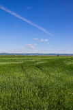 Beautiful Landscape Green Corn Field With Blue Cloudy Sky Royalty Free Stock Photo
