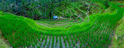 Beautiful landscape with green rice terraces near Tegallalang village, Ubud, Bali, Indonesia Royalty Free Stock Photo