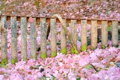 A rusty metal fence with green lycane and an old. rope and sweet pink tabebuia flower falling on the ground floor royalty free stock photography