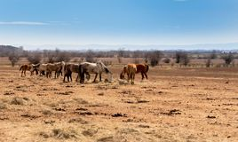 beautiful landscape, the herd of horses grazing in the field royalty free stock image