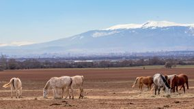 Beautiful landscape, herd of thoroughbred white, grey, brown horses grazing in a field, in the background snow mountains royalty free stock photography