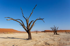 Beautiful landscape of Hidden Vlei in Namib desert panorama. Wide panorama of beautiful sunrise landscape of hidden Dead Vlei in Namib, blue sky, best place of Stock Photo