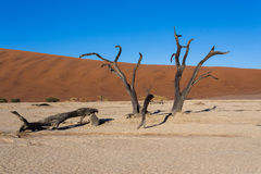 Beautiful landscape of Hidden Vlei in Namib desert panorama. Wide panorama of beautiful sunrise landscape of hidden Dead Vlei in Namib, blue sky, best place of Royalty Free Stock Photos