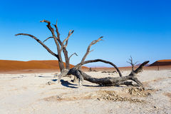 Beautiful landscape of Hidden Vlei in Namib desert. Beautiful sunrise landscape of hidden Dead Vlei in Namib desert with dead acacia tree, best place of Namibia Royalty Free Stock Photography