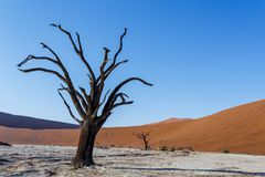 Beautiful landscape of Hidden Vlei in Namib desert. Beautiful sunrise landscape of hidden Dead Vlei in Namib desert with dead acacia tree, best place of Namibia Royalty Free Stock Photos