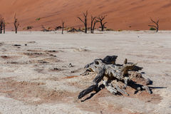 Beautiful landscape of Hidden Vlei in Namib desert. Beautiful sunrise landscape of hidden Dead Vlei in Namib desert with dead acacia tree, best place of Namibia Stock Images