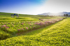 Beautiful landscape Historic carriage in flower field Royalty Free Stock Photo