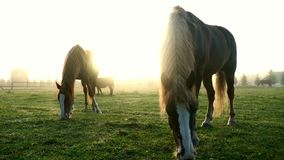 Beautiful landscape horses eating grass on pasture on sun rays background stock video
