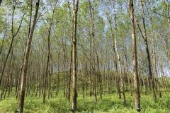 Rubber tree plantation stock image