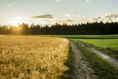 Beautiful landscape image of golden wheat filed and green ripeni Stock Images