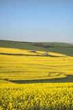 Beautiful landscape image of ripe rapeseed canola crop in Spring Stock Image