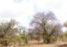 Beautiful landscape with Jacaranda trees, Kenya Royalty Free Stock Photo