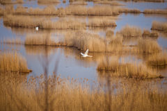 A beautiful landscape of a lake with reeds where migratory birds can rest. In an early spring Stock Photo