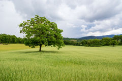 Beautiful landscape and lone tree in Tuscany Royalty Free Stock Photo