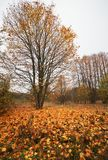 Beautiful landscape with autumn trees and fallen leaves Stock Image