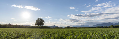 Beautiful landscape - majestic tree growing in green meadow Royalty Free Stock Image