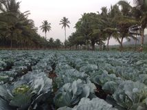 Beautiful Landscape. Marvellous array of Cabbage plants with Coconut palms standing like sentinels stock image