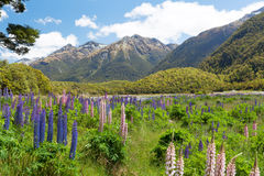 Beautiful landscape with mountains and wild flowers in Fiordland Royalty Free Stock Photography