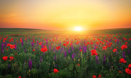Beautiful landscape with nice sunset over poppy field. Stock Image
