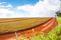 Beautiful Landscape in Oahu,Hawaii. Pineapple Plantation in Oahu,Hawaii Stock Photos