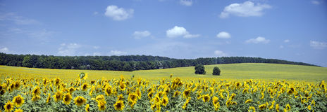 Beautiful Landscape Of Fields With Sunflowers Royalty Free Stock Photos