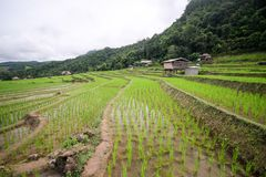 Beautiful landscape of paddy rice field royalty free stock photo
