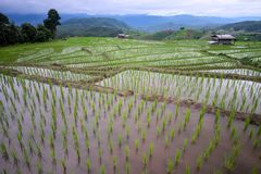 Beautiful landscape of paddy rice field stock photo