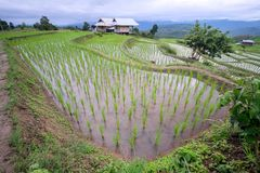 Beautiful landscape of paddy rice field stock photography