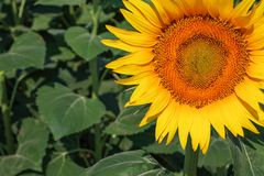 Nature landscape; Sunflower field, agriculture Royalty Free Stock Photos