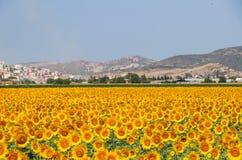 Nature landscape; Sunflower field, agriculture Stock Photos