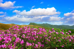 Beautiful landscape of Pink rhododendron flowers and blue sky in the mountains, Hwangmaesan in Korea. Beautiful landscape of Pink rhododendron flowers and blue Stock Photos