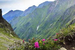 Beautiful landscape with pink rhododendron flowers on the mounta Royalty Free Stock Image