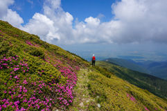Beautiful landscape with pink rhododendron flowers on the mountain, in the summer. Man hiking. Overcast sky after storm. Carpathian Mountains, Fagaras, Romania stock photo