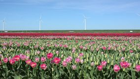 Beautiful landscape with pink tulips against the sky (natural ba. Ckground, relaxation, meditation, anti-stress - concept stock footage
