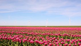 Beautiful landscape with pink tulips against the sky (natural ba. Ckground, relaxation, meditation, anti-stress - concept stock video