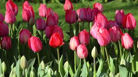 Beautiful landscape with pink tulips. (natural background, relaxation, meditation, anti-stress - concept stock video footage