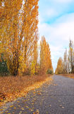 Beautiful landscape with poplar trees, golden leafs and road Stock Photo