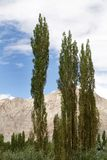 Beautiful landscape with poplar trees in Leh Stock Photos