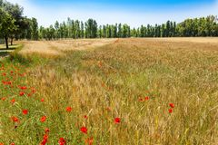 Poppies in wheatfield, cotton wood trees, summer Stock Image