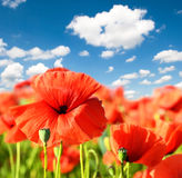 Beautiful landscape with poppy flowers close up against the sky Royalty Free Stock Photos